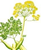 100_Pure_Natural_Galbanum_Essential_Oil_Ferula_galbaniflua_