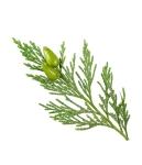 2163_organic-essential-cypress_Hi-Res_2