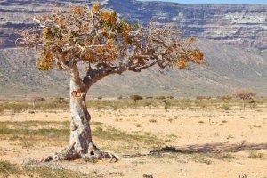 myrrh-tree-480x320